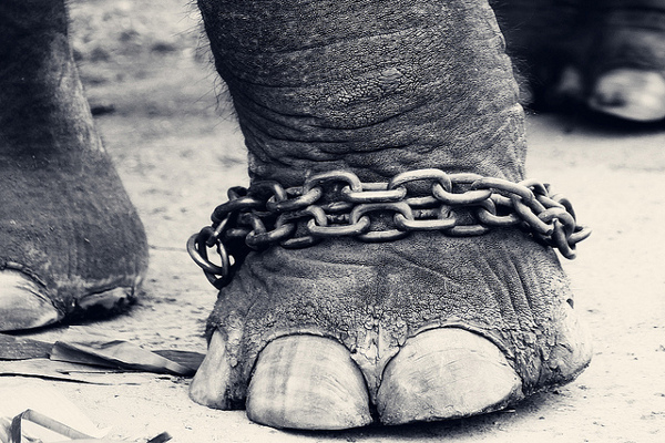 elephant-chained